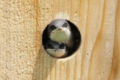 Tree Swallow In a Bird House Stock Photos