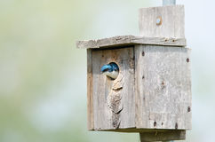 Tree swallow in birdhouse Royalty Free Stock Image