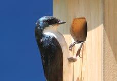 Tree Swallow on a Birdhouse Stock Photos