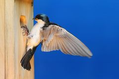 Tree Swallow on a Birdhouse Stock Image