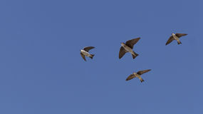 Tree swallow birds Royalty Free Stock Photography