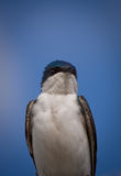 A tree swallow on a blue sky. A beautiful Tree Swallow, Tachycineta bicolor, is bathing in the sun by a clear and warm day of May. Quebec, Canada stock photo