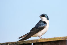 Tree Swallow with Blue Sky Background Stock Images