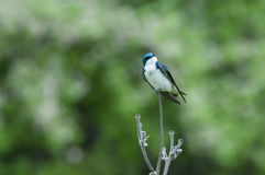 Tree Swallow. On a branch stock images