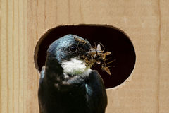 Tree Swallow Bringing Food To A Nest Royalty Free Stock Photo