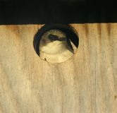 Tree Swallow Chick 2. Swallow chick in a nesting box stock photos
