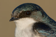 Tree Swallow Stock Photography