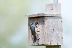 Tree swallow couple. A couple of tree swallows in a nesting box Stock Image