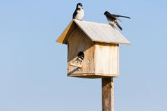 Tree swallow Family. Close up Stock Images