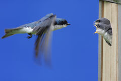 Tree Swallow Feeding Babies Royalty Free Stock Images