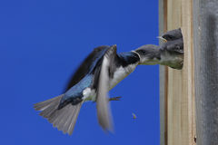Tree Swallow Feeding Babies Royalty Free Stock Photo