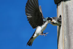 Tree Swallow Feeding Babies Royalty Free Stock Photos