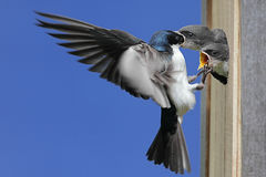 Tree Swallow Feeding Babies Royalty Free Stock Image