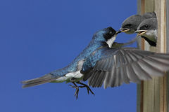 Tree Swallow Feeding Babies Stock Photo