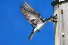 Tree Swallow Feeding Babies Stock Images