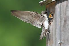 Tree Swallow Feeding Babies Stock Photo