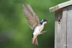 Tree Swallow Feeding Babies Stock Photography
