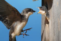 Tree Swallow Feeding Babies Royalty Free Stock Photo