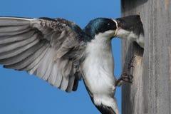 Tree Swallow Feeding Babies Royalty Free Stock Photography