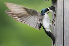 Tree Swallow Feeding Babies Royalty Free Stock Image
