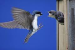 Tree Swallow Feeding Babies. Tree Swallow (tachycineta bicolor) feeding hungry babies Stock Photos