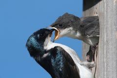 Tree Swallow Feeding A Baby Royalty Free Stock Photography