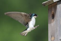 Tree Swallow Feeding Bringing Food To Nest. Male Tree Swallow (tachycineta bicolor) bringing food to the nest Royalty Free Stock Photos
