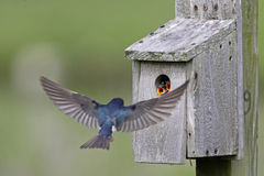 Tree Swallow feeding juveniles Stock Photography