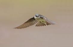 Tree Swallow in flight Royalty Free Stock Image
