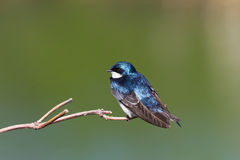 Tree Swallow Stock Photo