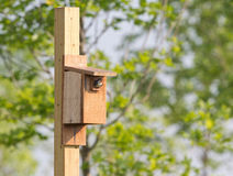 Tree swallow in hole  of nesting box with mouth open. Stock Photography