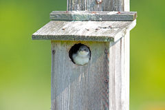 Tree Swallow Inside Nest Box Stock Photos