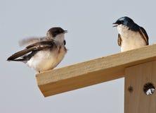 Tree Swallow(iridoprone bicolor) Stock Photography