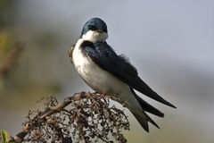 Tree Swallow(iridoprone bicolor). Perched on plant in the early morning royalty free stock photo