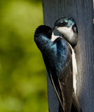 Tree Swallow(iridoprone bicolor) Royalty Free Stock Image