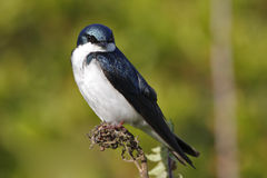 Tree Swallow(iridoprone bicolor) Stock Photo