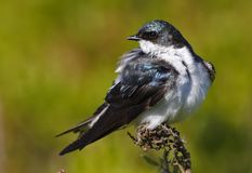 Tree Swallow(iridoprone bicolor). Perched on end of branch Stock Image