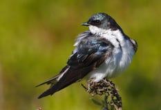 Tree Swallow(iridoprone bicolor) Stock Image
