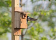 Tree swallow landing on nesting box Royalty Free Stock Photos