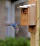 Tree swallow leaving nesting box Stock Photos