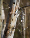 Tree Swallow. A lone Tree Swallow perched on a branch Stock Photos
