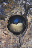 Tree Swallow at Nest Hole. A Tree Swallow looking out of a nest hole in southern Oregon with dramatic bark and background Stock Images
