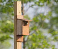 Tree swallow looking out of nesting box Royalty Free Stock Photos