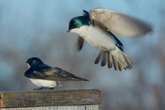 Tree Swallow. Male Tree Swallow hovering over a female getting ready to mate Royalty Free Stock Image