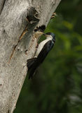 Tree swallow at nest Stock Image