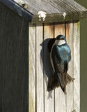Tree swallow at nest Royalty Free Stock Photos