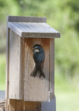 Tree Swallow at Nest Box Royalty Free Stock Images