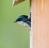 Tree Swallow in a Nest Box Royalty Free Stock Images