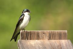 Tree Swallow on a Nest Box Royalty Free Stock Image