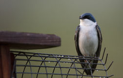 Tree Swallow with Nest Box Stock Image